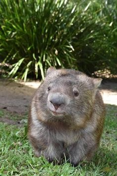 Australia is full of dangerous animals like the wombat – Deine Deadly Animals, Dangerous Animals, Rare Animals, Animals Images, Wild Animals, Funny Animals, Wombat Pictures, Hippopotamus Images, Capybara