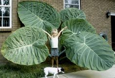I think Im going to grow  one of these.  even if I have to feed it neighbor children to get it this big.