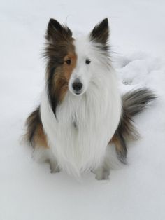 The Shetland Sheepdog is related to the Rough Collie, both descended from Border Collies that inhabited Scotland. The Border Collies were brought to the Scottish island of Shetland & crossed with the Icelandic Yakkin, a small dog. By 1700, the Sheltie was completely developed. The dogs were used to herd & guard the sheep flocks of the Shetlands.