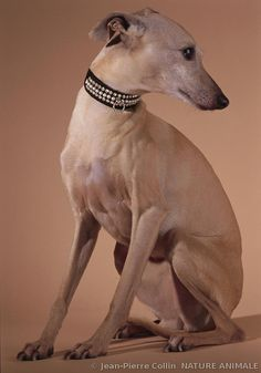 ✾ photographe Jean-Pierre Collin ✾ Small Italian Greyhound ✾
