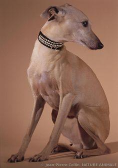 ✾ photographe Jean-Pierre Collin ✾ Small Italian Greyhound ✾