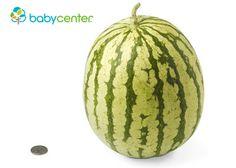 39 semanas. Tu bebé ya tiene el tamaño de una sandía pequeña, es muy probable que mida unas 20 pulgadas (51 centímetros) y que pese un poco más de 7 libras (unos 3,2 kilos).  #desarrollofetal #embarazo