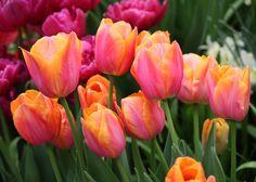 Drama Queens II: Tulip 'Orange Dynasty' – The Frustrated Gardener