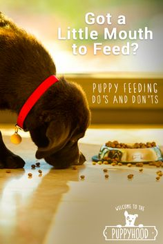 One of the most important parts of a puppy's life is food. That's because what, how much, and when he eats all play a part in his health. Learn all the do's and don'ts of feeding your new puppy by visiting puppyhood.com, and find out how to take care of him just as much as he takes care of you.