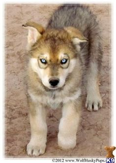 puppy mixed with wolf those eyes are beautiful second-look-thinking-twice