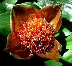 shade loving houseplants list | Scadoxus membranaceus Rare Plants, Exotic Plants, Growing Orchids, Brown Flowers, Trees To Plant, Houseplants, Planting Flowers, Succulents, Bloom