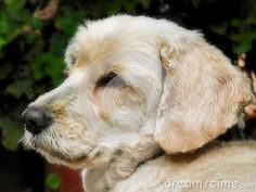 Photo about A close up view of a Cockapoo dog looking sleepy in the garden. Image of gardens, friendly, cross - 140501247 Cockapoo Dog, Family Images, Maltese, Guinea Pigs, Cute Animals, Horses, Stock Photos, Garden, Dogs