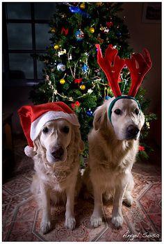 Merry Christmas / Feliz Navidad / Frohe Weihnachten / Joyeux Noël / Buon Natale (by Angel Sosa) Christmas Puppy, Christmas Animals, Christmas Cats, Merry Christmas, Christmas Couple, Christmas Cookies, I Love Dogs, Cute Dogs, Santa's Little Helper