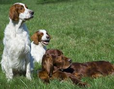 Irish Setter Puppies.. I'd like to put my order in please!