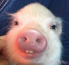 As micro mini pig
