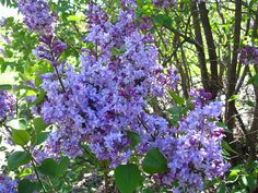 I adore Lilacs. I wish I could smell these!  Thanks Brooklyn Botanic Garden.    skyinbloom.com