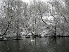Swan on the River Lea, Clapton, London.  via Flickr.