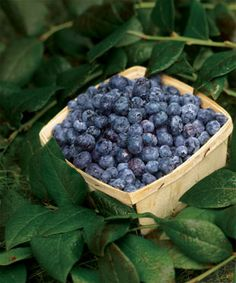How to Plant Blueberries - keep this as a resource to refer back to.  Planted my…