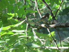 young song sparrow, birding