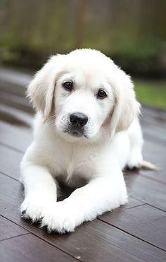 Golden Retriever puppy- could not be cuter!