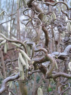 Corylus avellana 'Contorta'= kronkelhazelaar, heeft gedraaide takken en twijgen, katjes (februari/ maart) sierlijk afhangend tussen de grillige takken. Nu vaak gebruikt als paastak. Kan als solitair geplant worden, verdraagt zelfs zware schaduw.