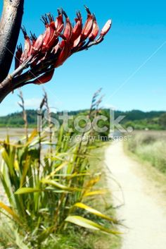 New Zealand Flax Flower with Pathscape Royalty Free Stock Photo New Zealand Flax, Abel Tasman National Park, Flax Flowers, Kiwiana, Photography For Sale, New Zealand Travel, Turquoise Water, Travel And Tourism, Native Plants