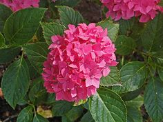 10 Popular Types of Hydrangeas - Growing Tips & Photos | Green and Vibrant Macrophylla, Flowers Perennials, Growing Hydrangeas, Shade Plants, Types Of Hydrangeas, Hydrangea Macrophylla, Showy Flowers, Plants, Planting Flowers