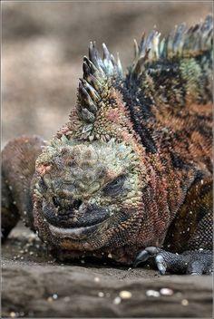 earthandanimals: Marine Iguana Photo by Igor Guchshin