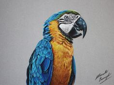 parrot drawings by marcellobarenghi - 1