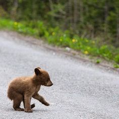 Bear cub crossing the road