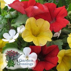 Buy Combination Summer Daze Annuals Online. Garden Crossings Online Garden Center offers a large selection of Annual Combination Plants. Shop our Online Annual catalog today.