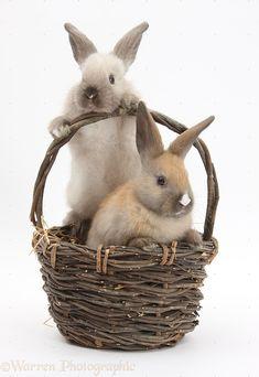 Baby rabbits in a wicker basket