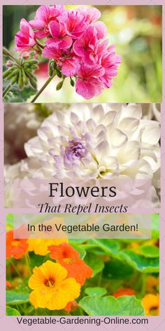 Add beauty to your raised bed garden while providing organic pest control! Geraniums, chrysanthemums, and nasturtiums are all beneficial companion plants in a vegetable garden.
