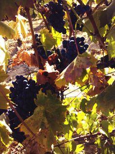 Tiempo de vendimia en #riberadeduero y en @Cepa21Bodegas #winelovers #delacepaalamesa