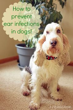 My GBGV Life | I'm sharing how to prevent ear infections in dogs with my homemade ear cleaner recipe that cured my chronic ear infections. My ears have now been infection free for about five years.