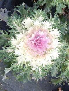 Coral Prince Ornamental Flowering Kale