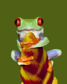 ANIMAL POSTER ~ RED EYE TREE FROG COLORS 24x36 Animals Frogs What/'s Up?