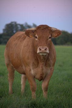 Limousine : Race à viande de grande taille, à conformation bouchère exceptionnelle et d'élevage aisé, la Limousine fournit une large gamme de produits finis, du veau de lait à la génisse lourde, en passant par les différentes sortes de jeunes bovins. http://www.la-viande.fr/limousine-0
