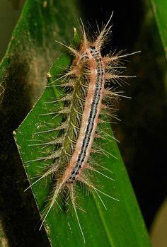 """Este belo exemplar de lagarta de mariposa,  estava se alimentando em uma folha de palmeira. Ela também é da família Limacodidae. Uma das características desta família são os pelos urticantes usados para sua proteção. Este exemplar é conhecido como """"Dama de Côr-de-Rosa"""". Encontrada em Pu'er, Yunnan, na China."""