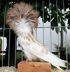 Jacobin Pigeon, Fantail Pigeon, Almond, Bird, Iphone, Birds, Almond Joy, Almonds, Birdwatching