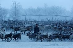 Herders select and sort reindeer inside an enclosure in the settlement of Krasnoye in Nenets Autonomous District, Russia, November 29, 2016. Picture taken November 29, 2016. REUTERS/Sergei Karpukhin via @AOL_Lifestyle Read more: https://www.aol.com/article/news/2017/07/10/sweden-ranked-best-country-to-be-an-immigrant/23023633/?a_dgi=aolshare_pinterest#fullscreen