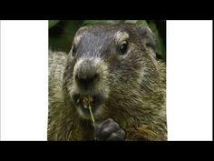 Marmotte Chiante - Les cons...
