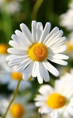 If a flower did remind me of a day it would be A daisy = Sunday morning light