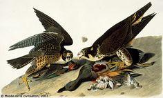 Audubon paintings of  birds