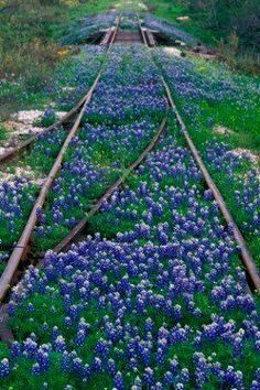 Bluebonnet tracks