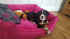 Great swiss mountain dog pup finally home at 8 weeks