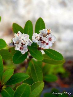 다정큼나무(Raphiolepis indica var. umbellata)는 제주도를 비롯하여 남해안 다도해 섬 지역에서 주로 자... Flower Crown, Flower Vases, Bellisima, Beautiful Flowers, Watercolor Paintings, Bloom, Butterfly, Rose, Garden