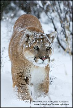 Cougar (Puma concolor) - USA by Anaspides Photography - Iain D. Williams, via 500px