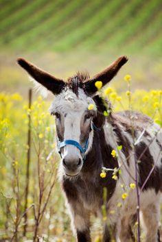 Donkey in a Sonoma Vineyard