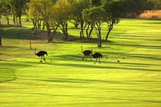 Local rules do apply in Africa. World Organizations, Golf Trips, Golf Courses, Africa, Around The Worlds, Outdoor Decor, Pictures, Painting, Unique