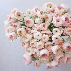 two toned blush ranunculus Simple Flowers, My Flower, Flower Power, Pink Flowers, Beautiful Flowers, Prettiest Flowers, Beautiful Things, Beautiful Flower Arrangements, Floral Arrangements