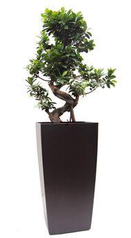 Ficus microcarpa 100cm tall