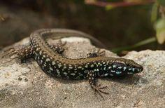 Milos Wall Lizard