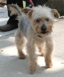 Smitty - Silky Terrier
