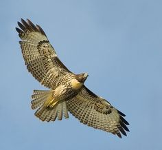 I am the hawk and there's blood on my feathers. But time is still turning they soon will be dry   John Denver ♥